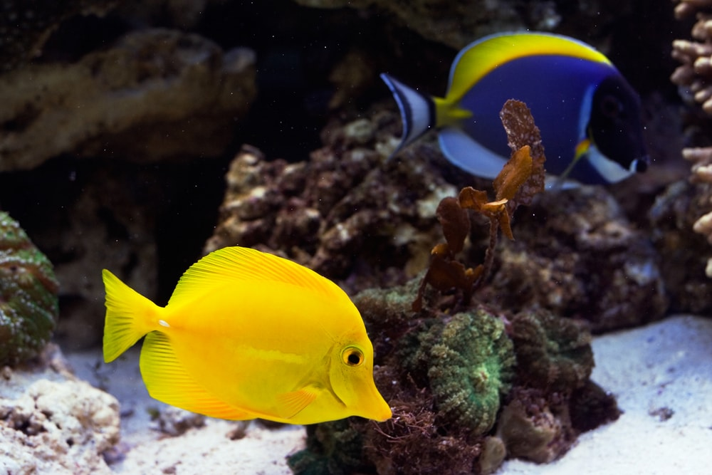 A Yellow Tang and a Powder Blue Tang Fish
