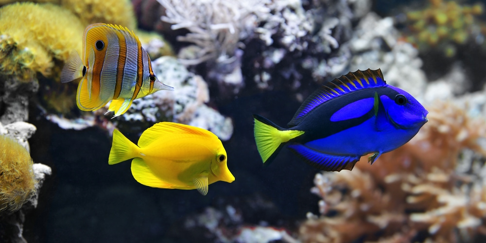 A Blue Tang and a Yellow Tang fish swimming together.