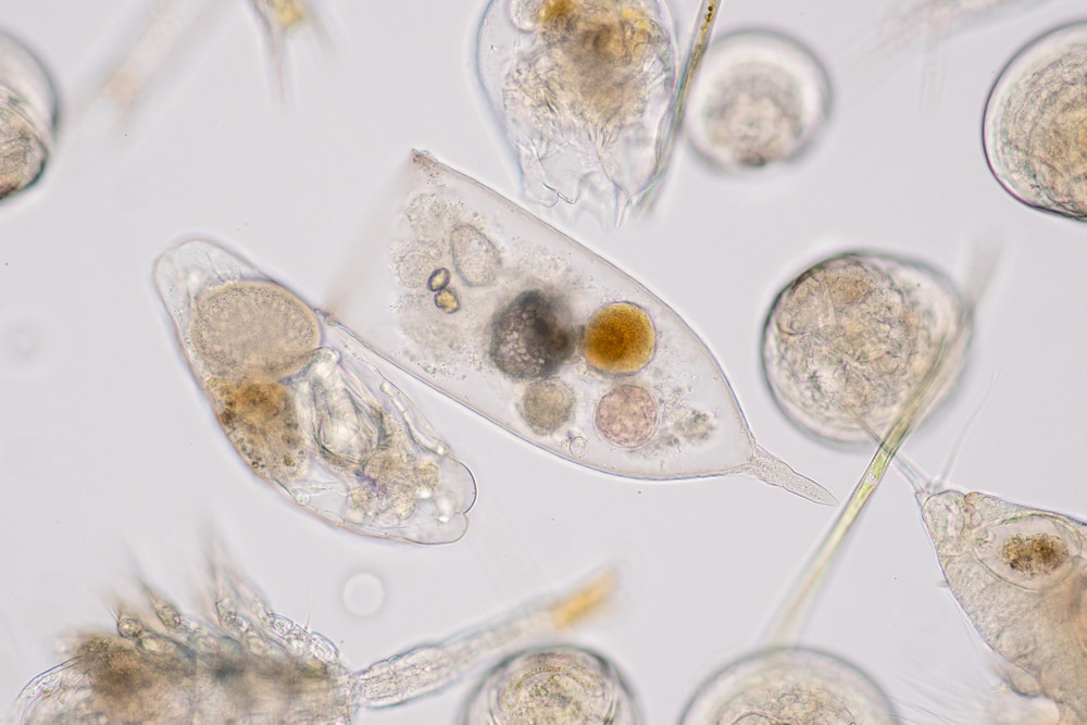 Copepods Under Microscope