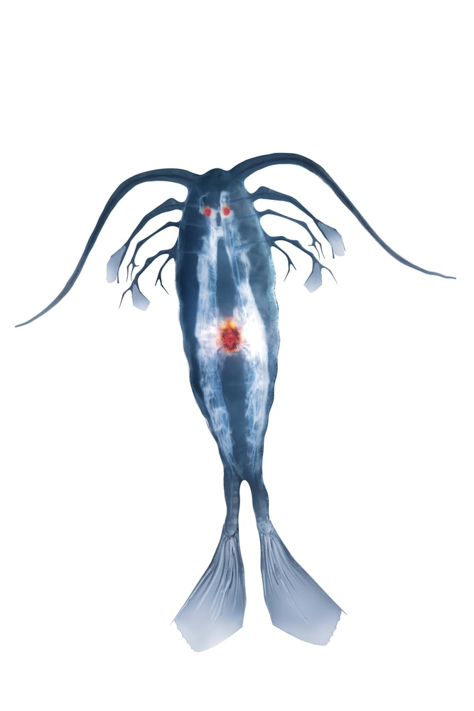 a Copepod Designed in a Digital Graphics Software