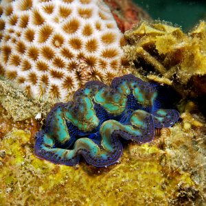 Crocea Clams are Beautiful Multicolored giant clams