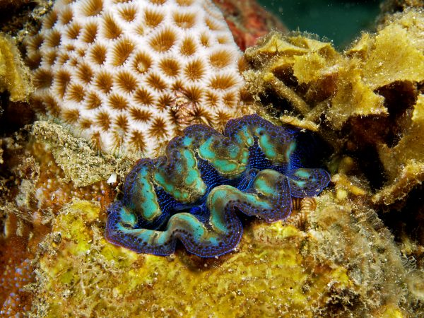 Crocea Clams are Beautiful Multicolored giant clams