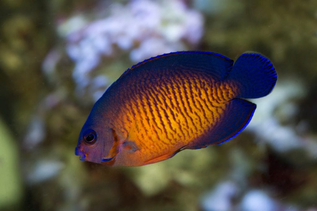A beautiful pigmy coral beauty angelfish