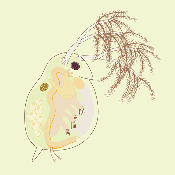An Illustration of Daphnia