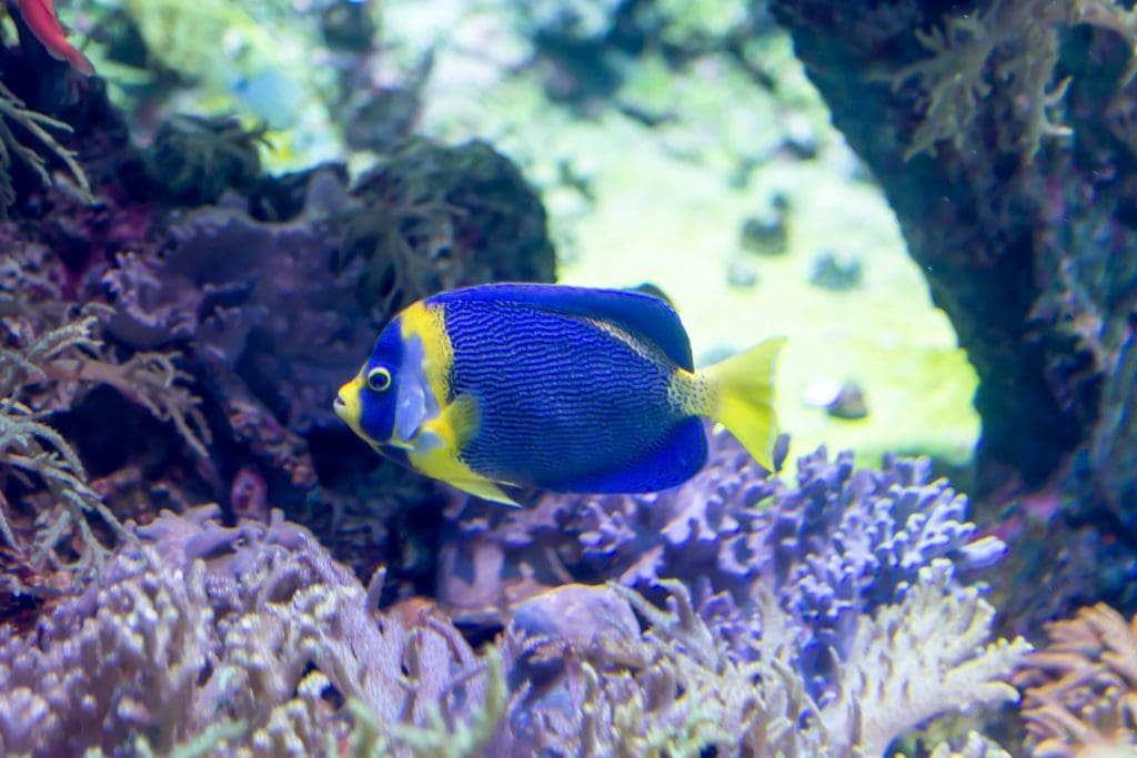 The Scribbled Angelfish