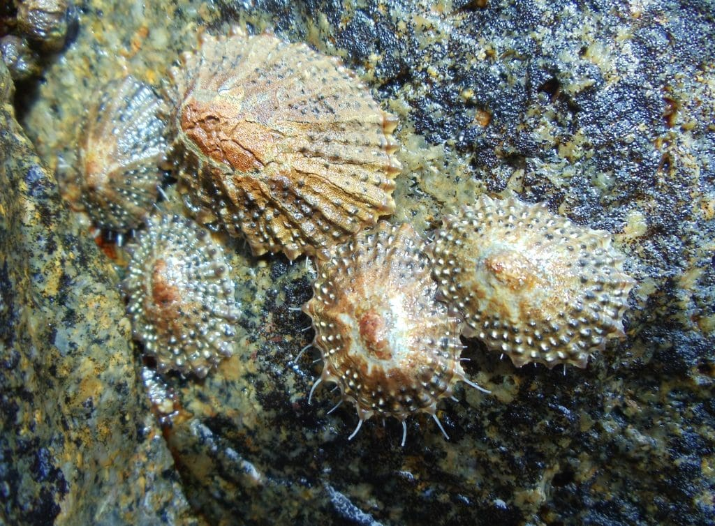 Limpets come in various shell styles