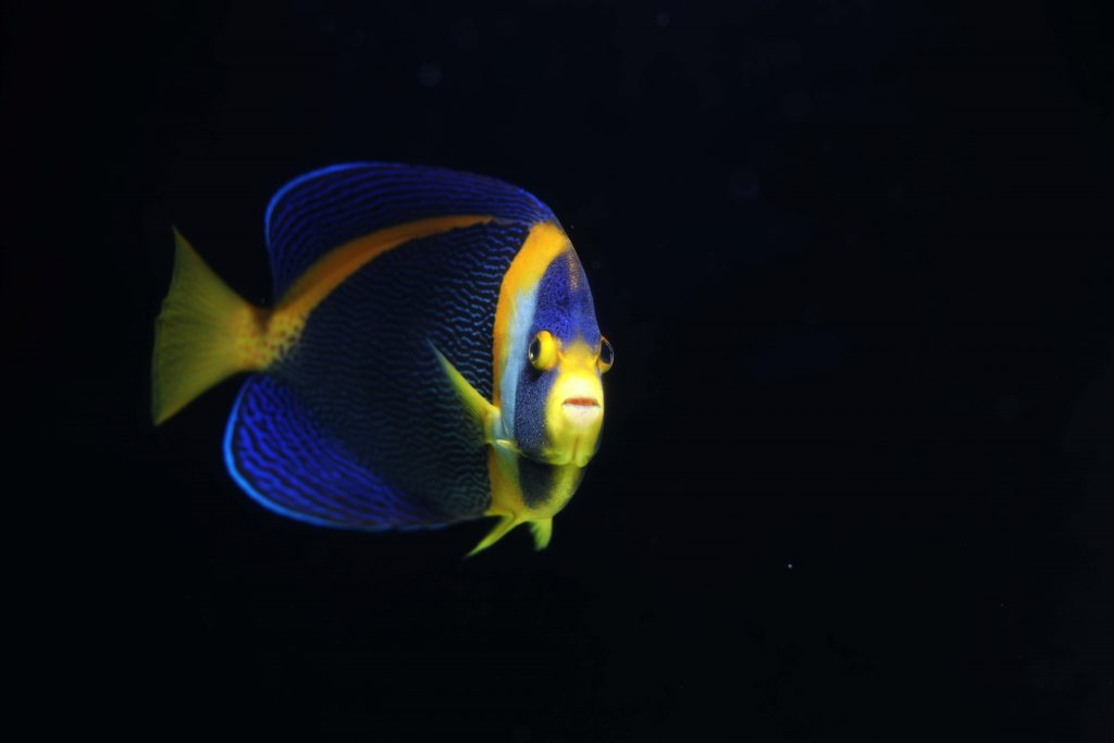 Beautiful Angelfish, from any angle