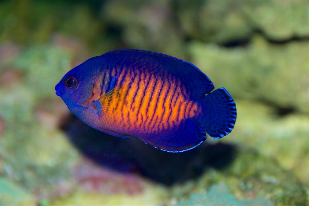 Coral Beauty Angelfish are amazing first Angels!