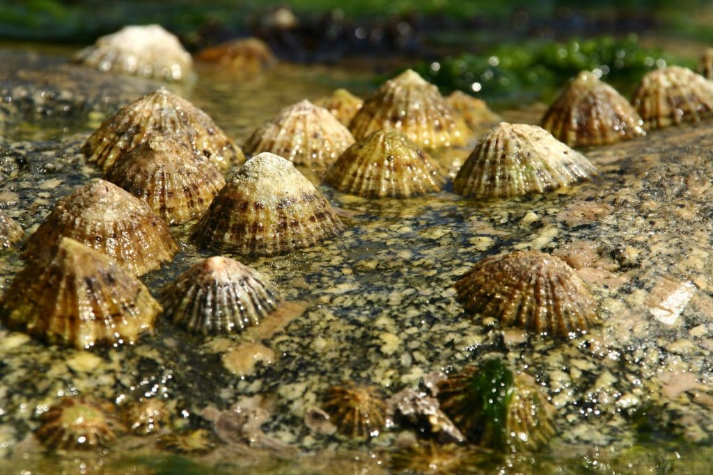 Limpets usually live and travel in colony groups