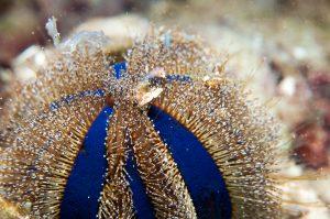 a Beautiful tuxedo urchin.