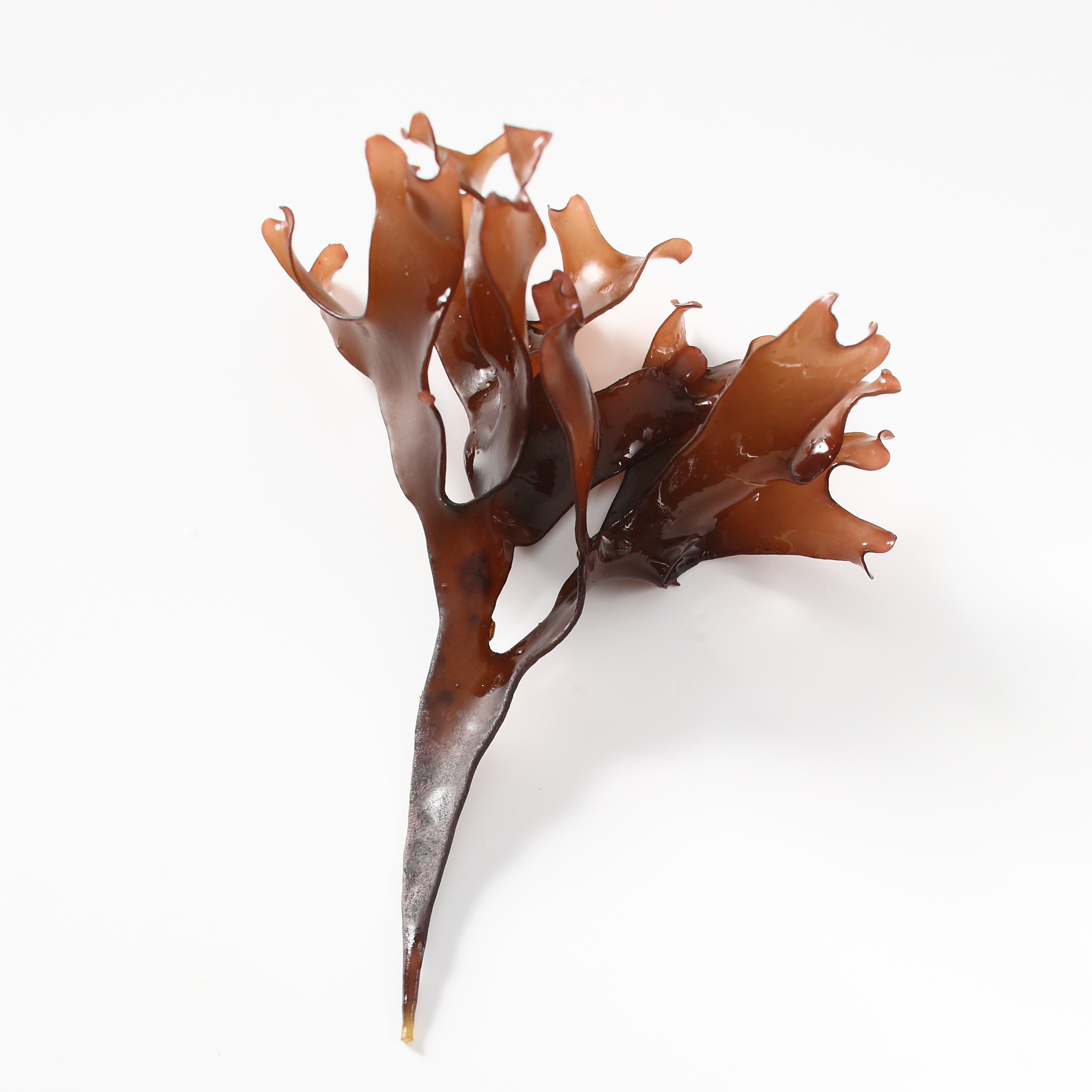 A brown Macroalgae