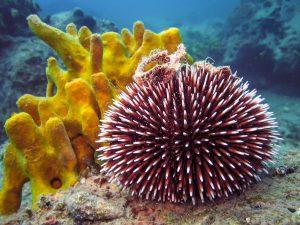 A unique Urchin in the Wild
