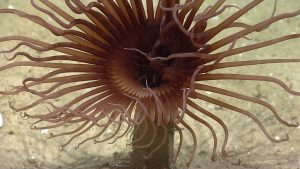 A tube anemone looking for food!