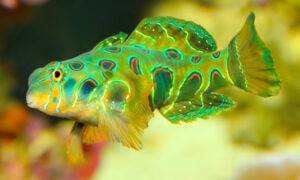 a psychedelic Spotted Mandarin Goby