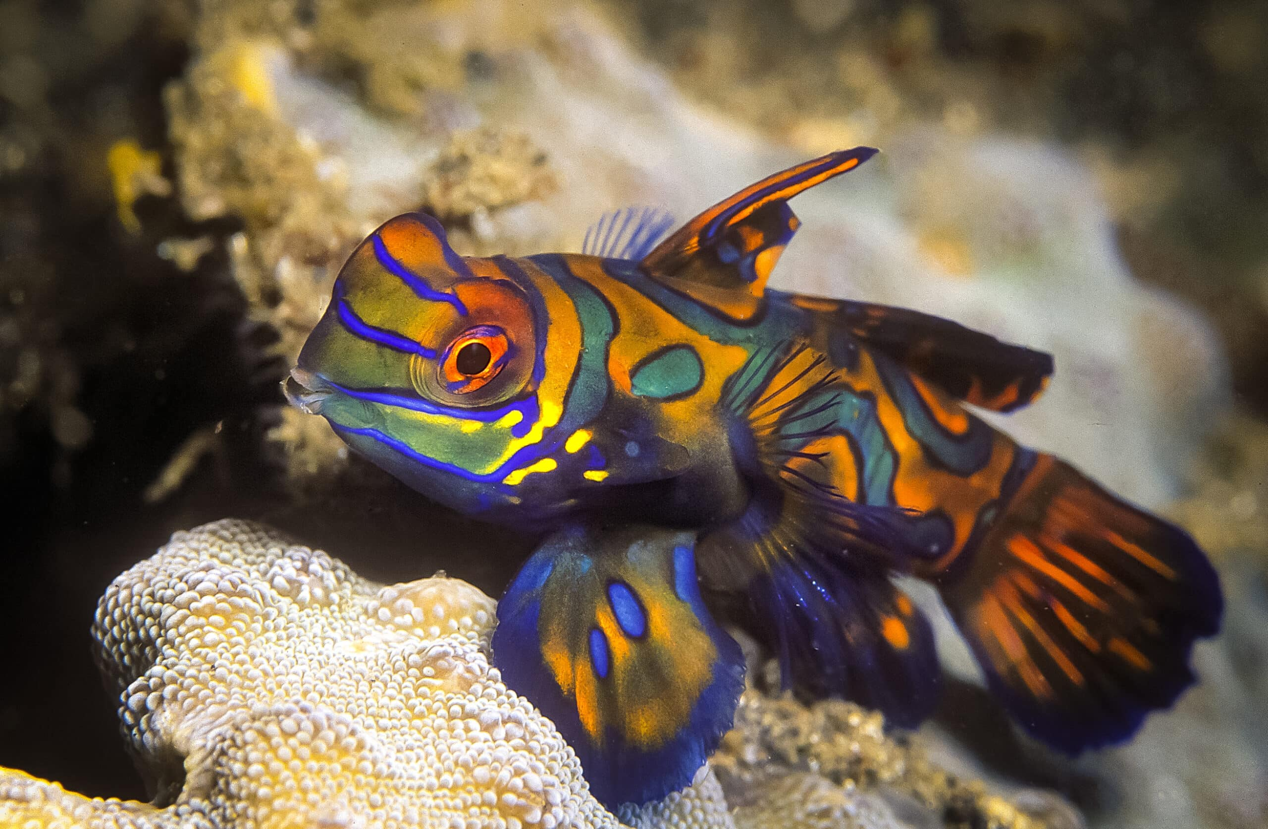 A baby green mandarin goby