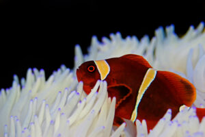 A gold banded maroon clownfish living in an anemone