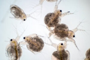 Copepods at very high magnification