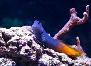 Bicolor Blennies are a curious beginner fish