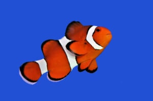 A bright and Beautiful Clownfish
