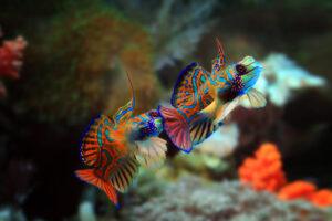 Male Mandarinfish Displaying for dominance