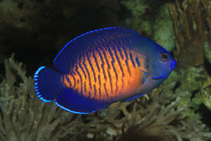 A Beautiful Captive Bred Coral Beauty Angelfish