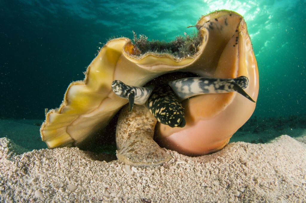 A large Conch in the ocean