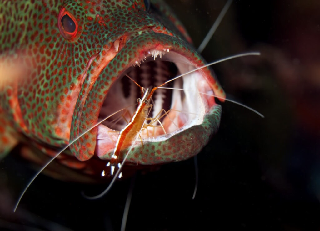 The brave and helpful cleaner shrimp in the mouth of a fish!