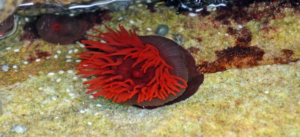 a beautiful and rare hellfire anemone