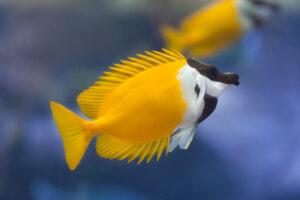 The Incredible Rabbitfish!