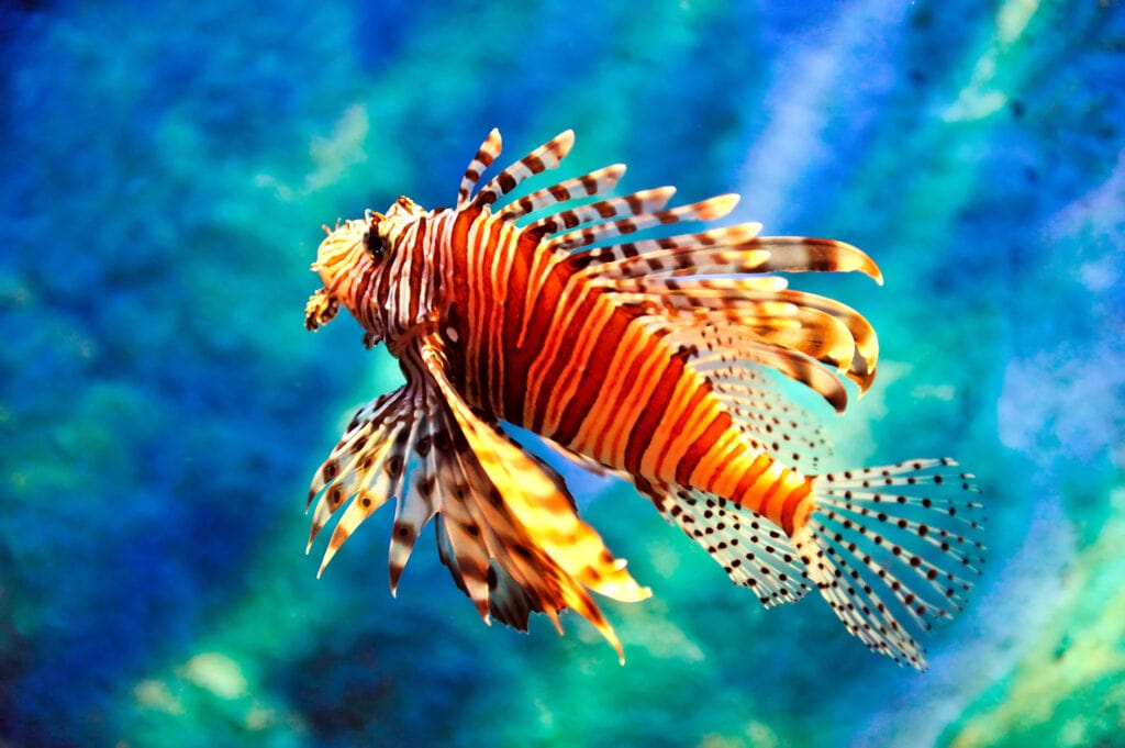 The remarkable Lionfish