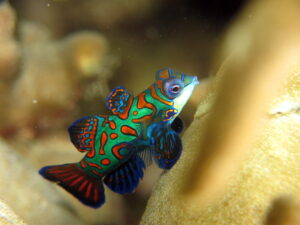 a small female Mandarin fish
